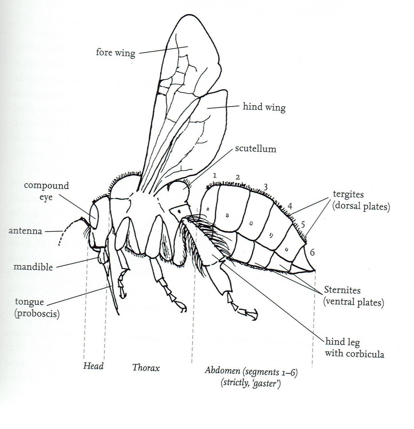 Big Garden Bee Count