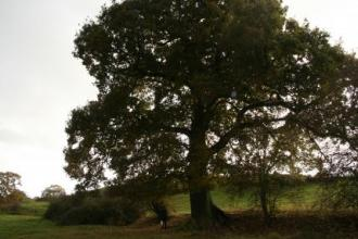 Oak tree in path of HS2