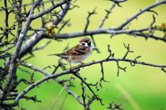 Tree sparrow c. Amy Lewis