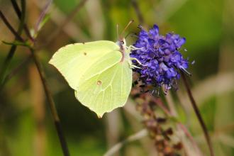 Brimstone butterfly c. Amy Lewis
