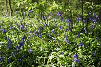 Bluebells at Owley Wood c. Victoria Kirby