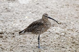 Curlew c. Amy Lewis