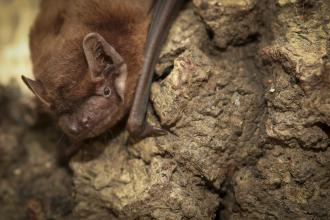 Noctule bat c. Tom Marshall