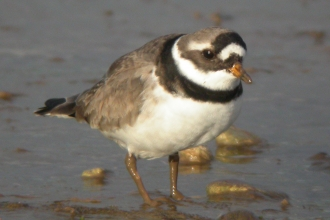 Common ringed plover c. Dave Appleton