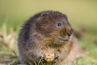 Water vole c. Tom Marshall