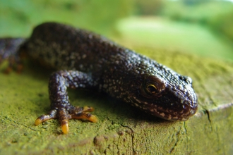 Great crested newt c. Kevin Caster
