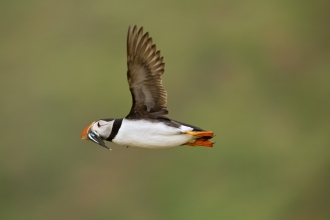 Puffin c. Neil Aldridge