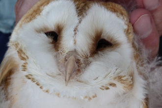 Barn owl chick at Bickley Hall Farm c. Claire Huxley