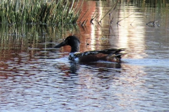 Shoveler at Gowy Meadows c. Steve Holmes