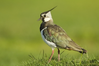 Lapwing c. Mark Hamblin/2020VISION