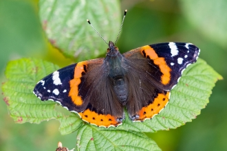 Red admiral at Kelsall by Barry Mills