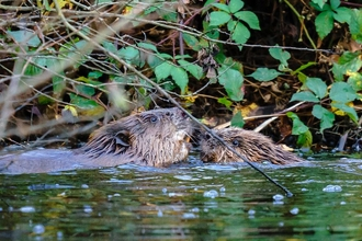 beavers in water