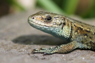 Photo of a common lizard