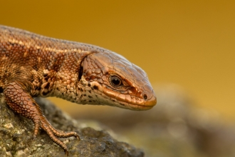 Viviparous or Common lizard