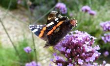 Red admiral on verbena c. Claire Huxley