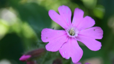 Red campion c. Rachel Lloyd