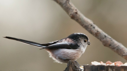 Long-tailed tit at Compstall Nature Reserve c. Jason Sheen