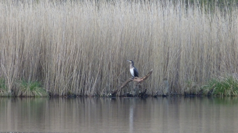 Cormorant at Hatch mere nature reserve c. Claire Huxley