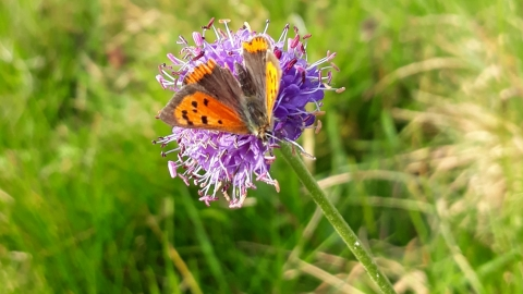Small Copper on scabious c. Joe Pimblett