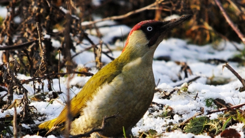 Green woodpecker c. Amy Lewis