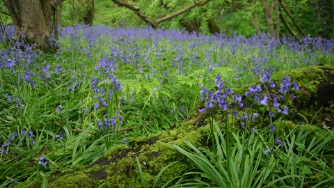 Bluebells Poors Wood
