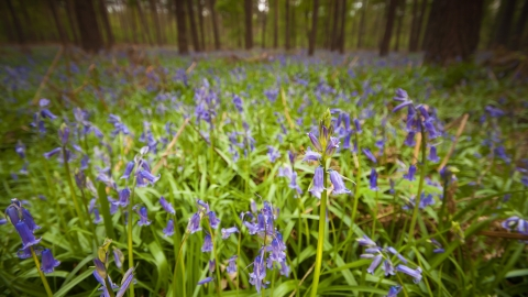 Bluebells c. Neil Aldridge