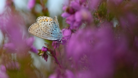 butterfly on heather