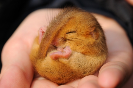 Dormouse c. Amy Lewis