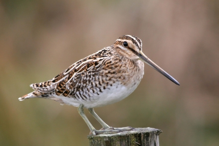 Snipe c. Margaret Holland