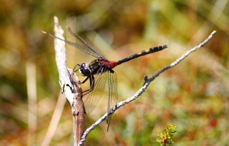 White-faced darter c. Kevin Reynolds
