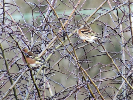 Chaffinch and brambling c. Steve Holmes