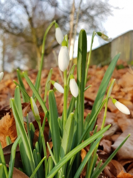 Snowdrops c. Steve Holmes