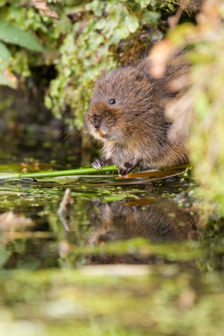 Watervole c. Tom Marshall