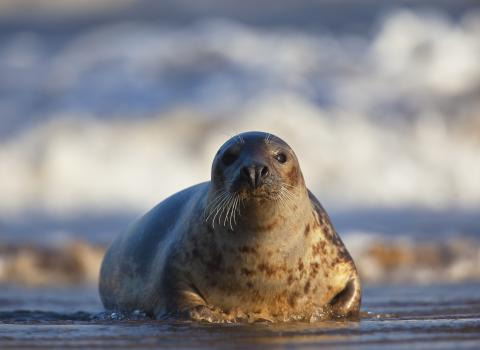 Grey Seal c. Neil Aldridge