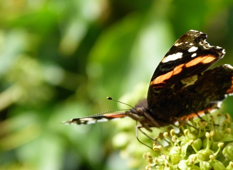 Red admiral c. Claire Huxley
