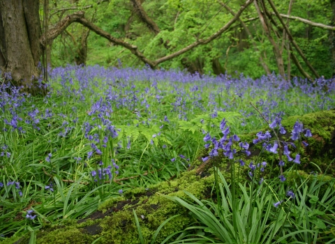 Bluebells at Warburton's Wood